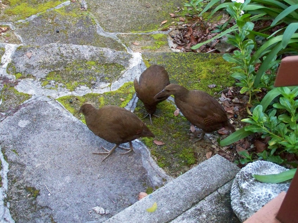 1% of World population of Lord Howe Is Woodhen#