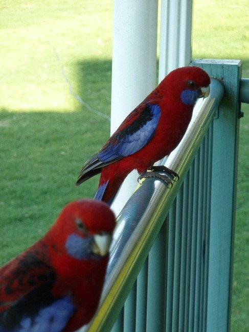 Crimson Rosella, Bunya Mountains, Queensland