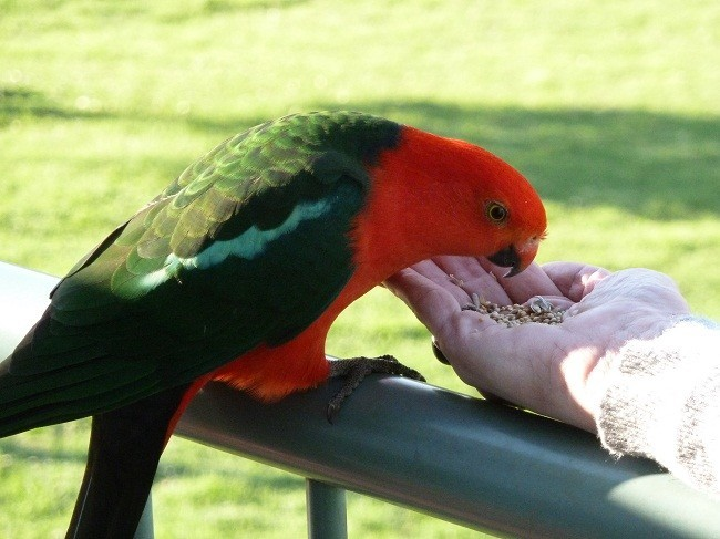 Annabel feeds a King Parrot