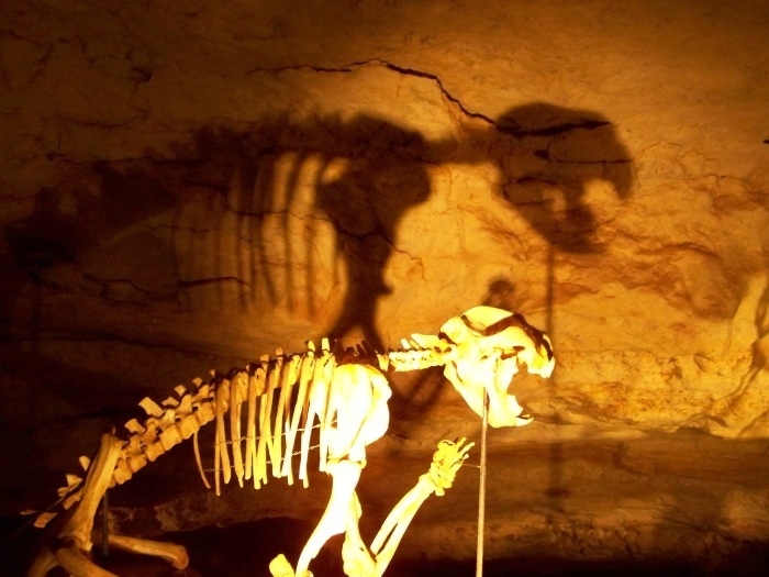Thylacoleo carnifex, Australia's lion! Naracoorte Caves, South Australia