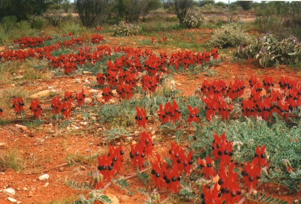 Sturts Desert Pea, South Australia