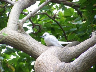 White Tern, Lord Howe Island (pic by Pilchard)