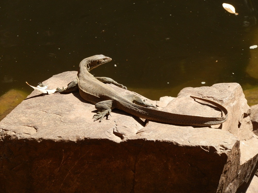 Water Monitor, the Grotto, Wyndham