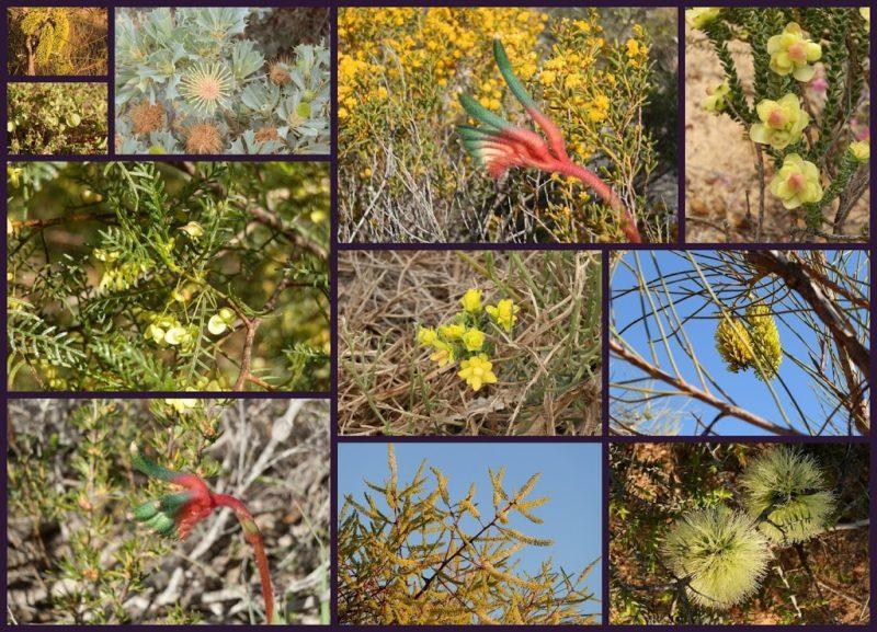 Green (ish) Western Australian Wildflowers