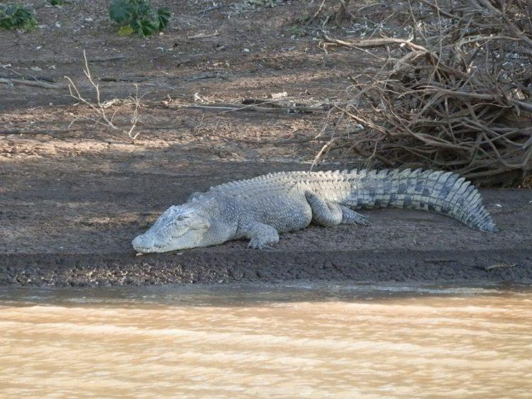 White Crocodile, Victoria River, Northern Territory