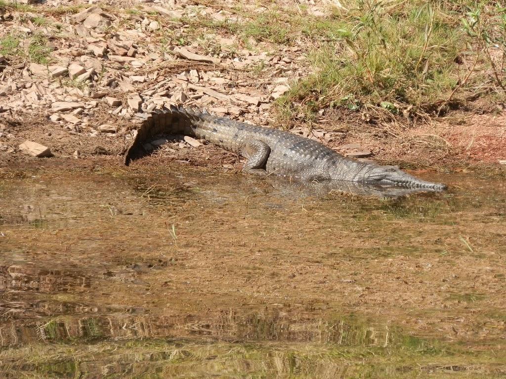 Freshwater croc at Lake Argyle, WA