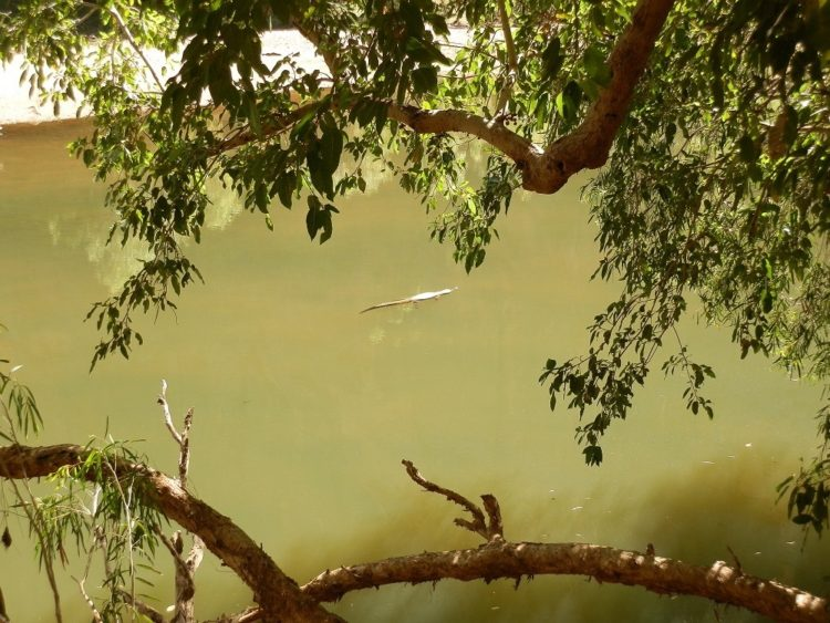 Would you swim with this little beauty? Freshwater crocodile at Windjana Gorge, via Derby, WA