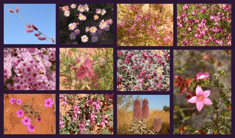 Pink Western Australian Wildflowers