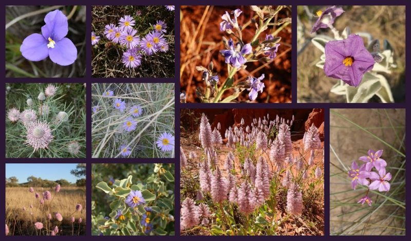 The Colour Purple - Western Australian Wildflowers