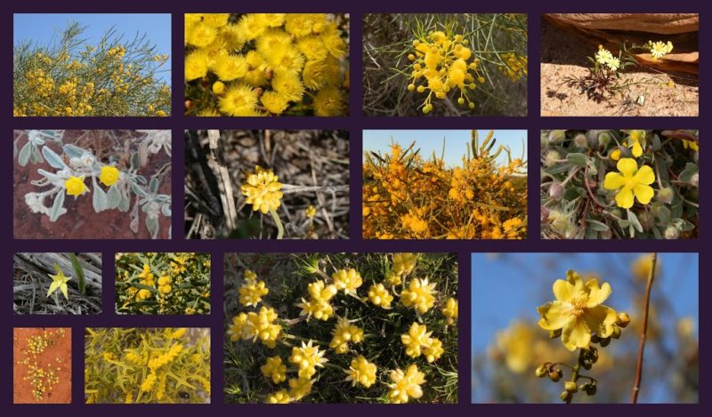 Yellow Western Australian Wildflowers