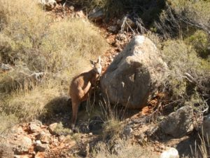 Wallaby in the Charles Knife Gorge