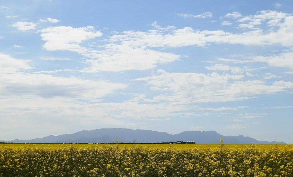 The BLUE Grampians rising above the Canola fields, Victoria