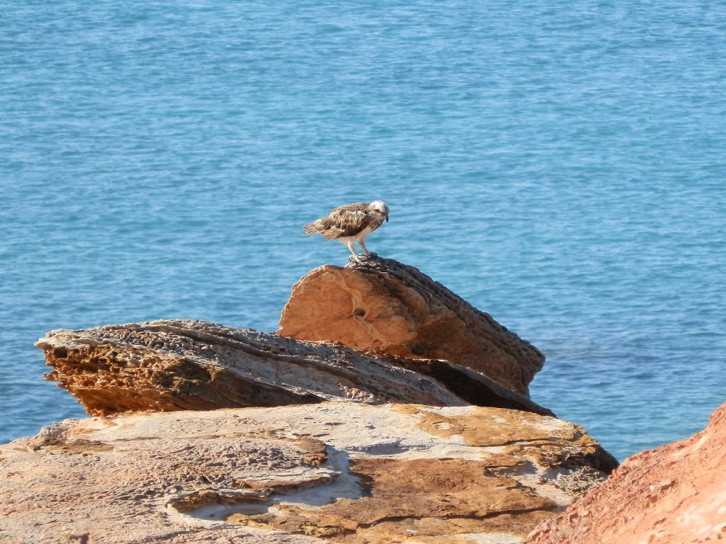 Osprey on rocks