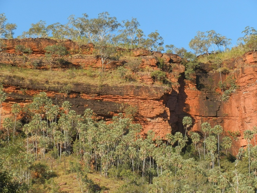 Livistona Palms and Red Cliffs at Joe Creek Walk, Victoria River Valley, Northern Territory