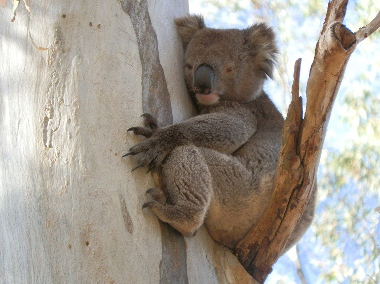 1-Koala