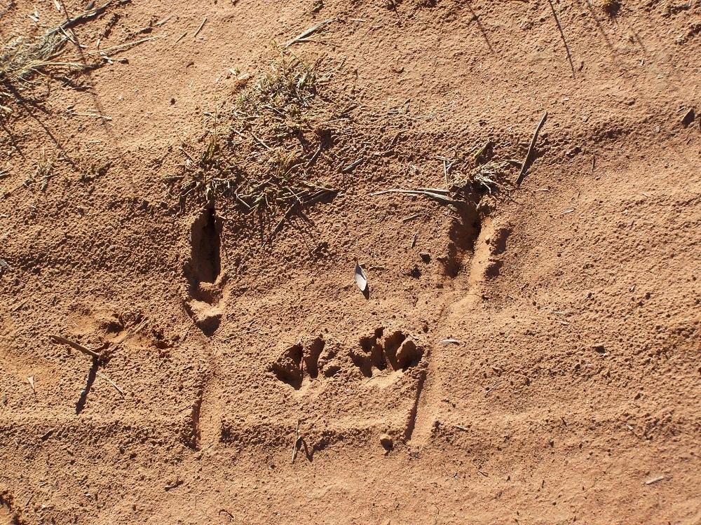 Kangaroo Footprints