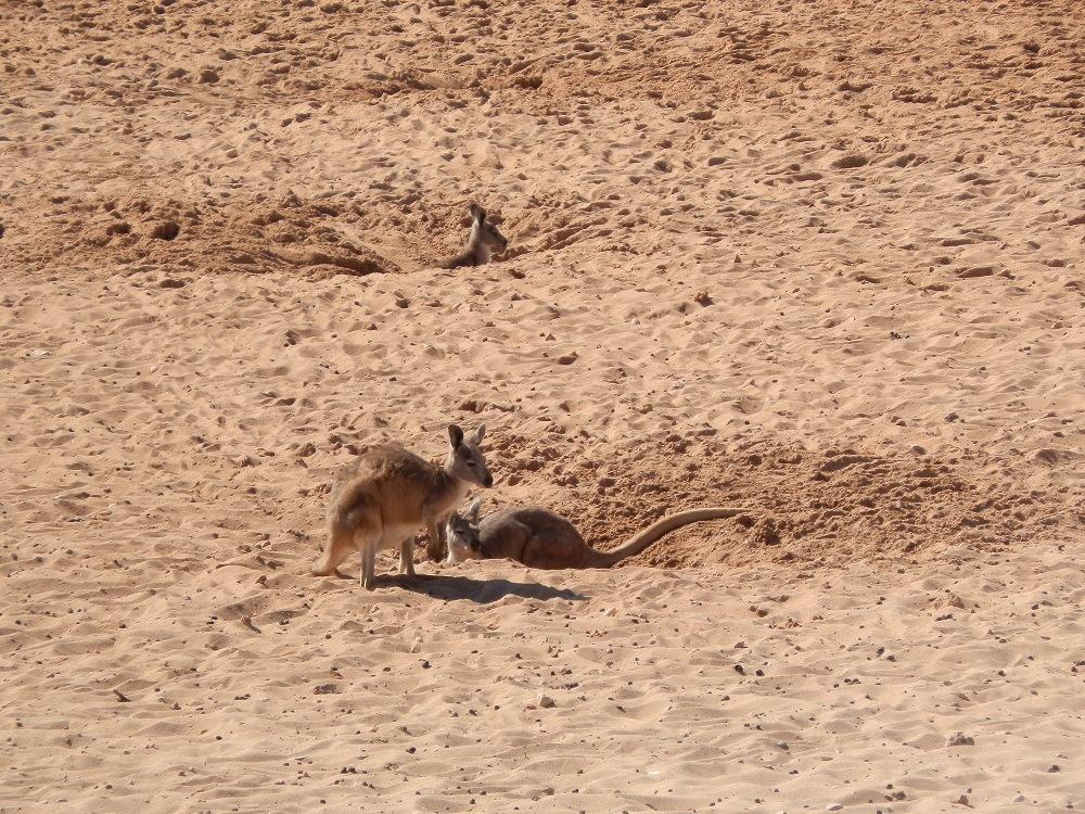 Kangas on the Beach, Exmouth, Western Australia