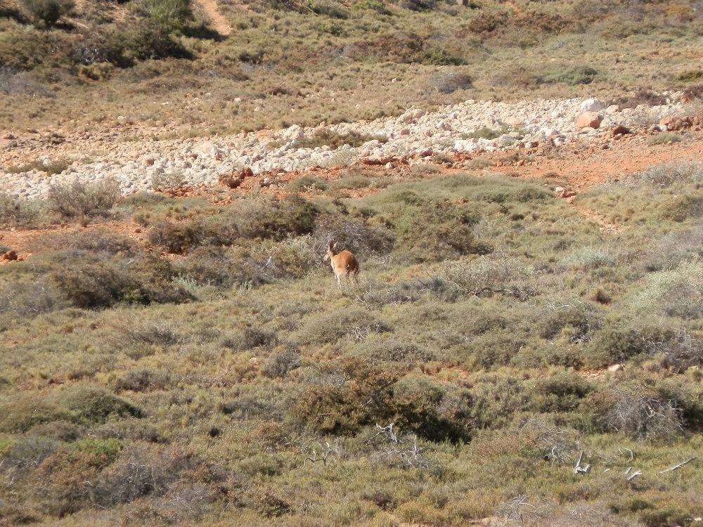 Big Red Kangaroo, Exmouth, Western Australia