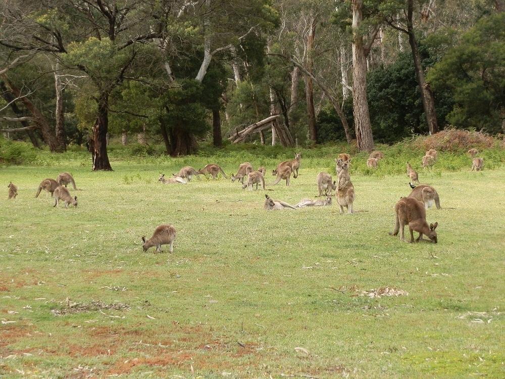 Kangaroos at Halls Gap, Victoria