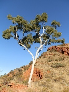 Ghost Gum at Ghost Gum Lookout, Ormiston Gorge