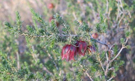 Carnamah Bell (Darwinia carnamah)