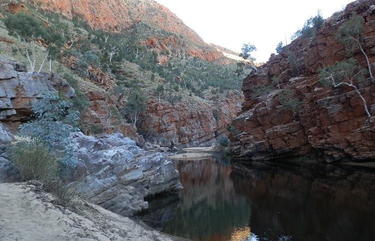 Dingo at Ormiston Gorge, Central Australia