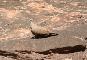 White-quilled Rock-pigeon, Keep River National Park