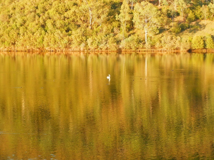 Still life with Pelican at Khancoban Pondage, New South Wales