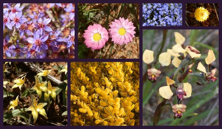 A selection of Carnamah Wildflowers, Western Australia
