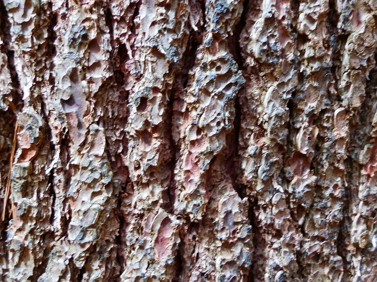 Sugar Pine Bark up close