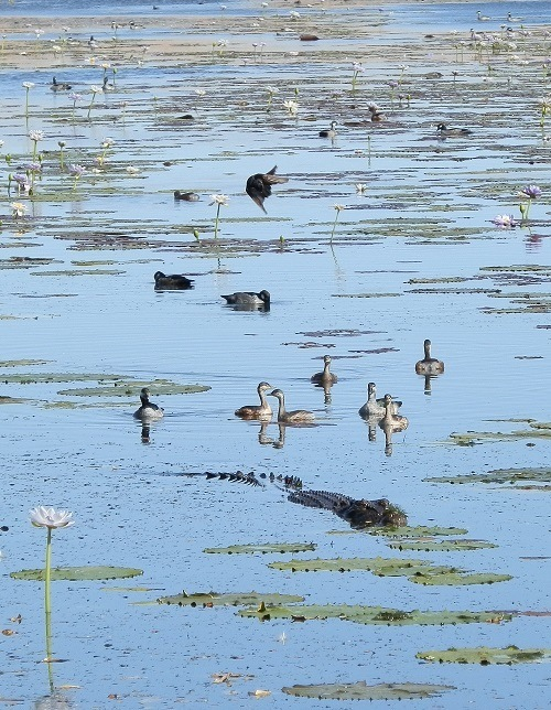 Birds and Crocodile at Marlgu Billabong