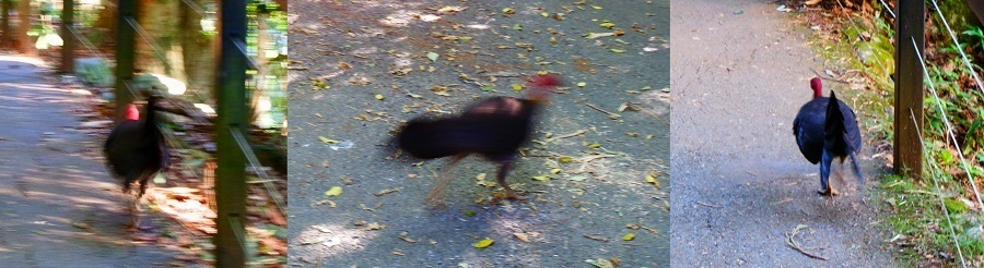 Now you see it ... Australian Brush-turkey at Natural Bridge