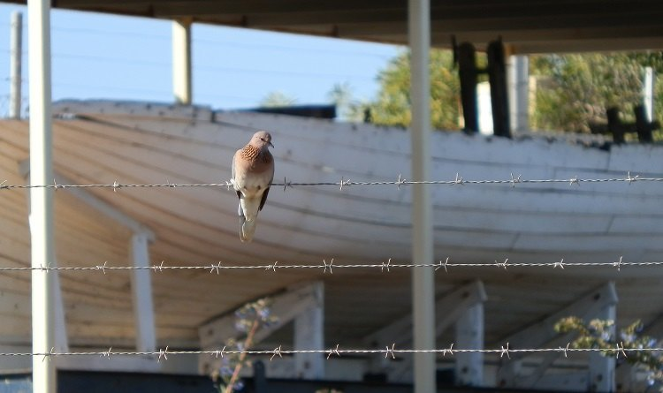 WHITE ENTRY:  The multicultural Laughing Dove, an emigrant from Africa to Carnarvon, Western Australia