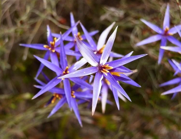 Tinsel Lilies, Grampians