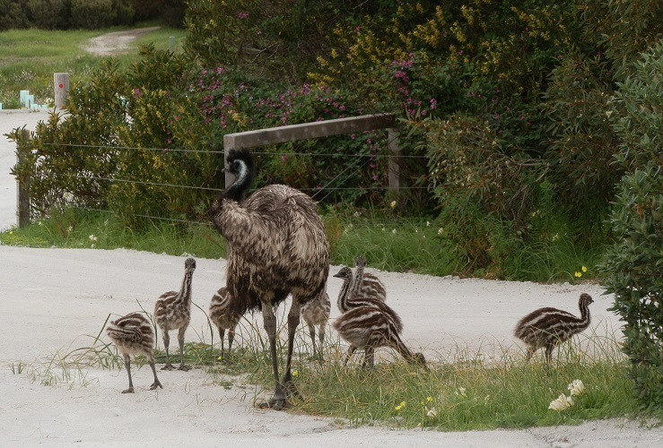 Emu with chicks, Inneston SA