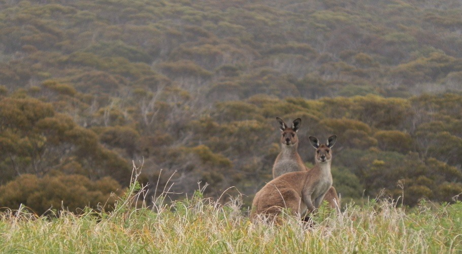 Kangaroos at Inneston, South Australia