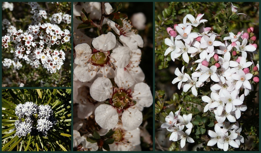Grampians Wildflowers, Victoria