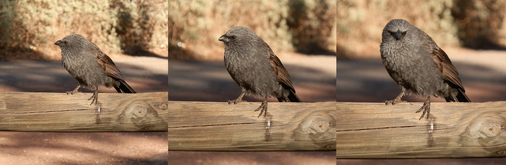 Apostle Bird at Wilpena Pound Resort Campground, South Australia