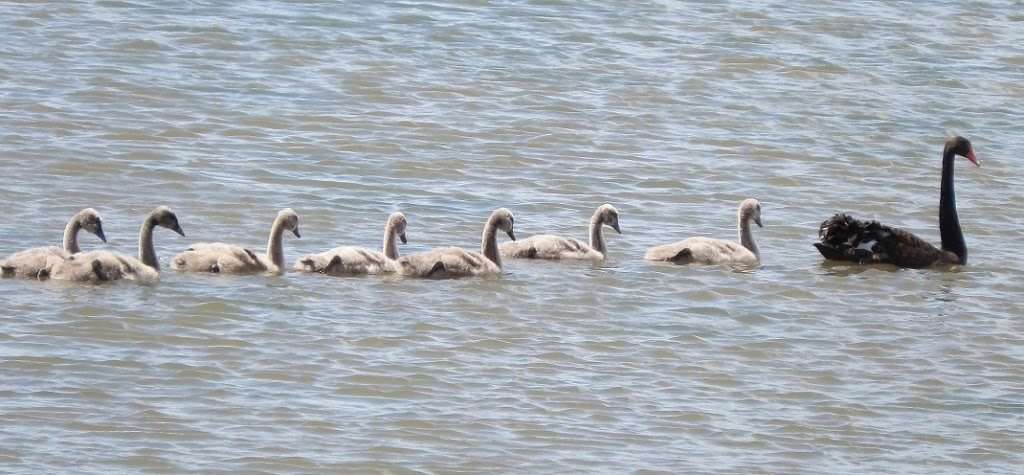 Australian Black Swan and Cygnets at Werribee