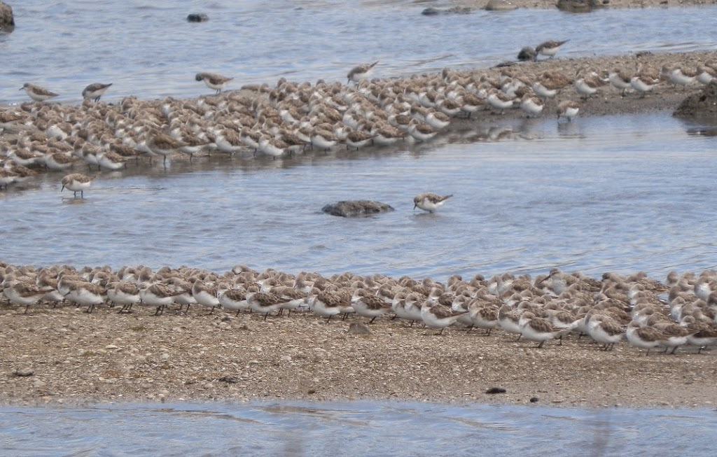 Waders at Werribee, Western Treatment Plant, via Melbourne
