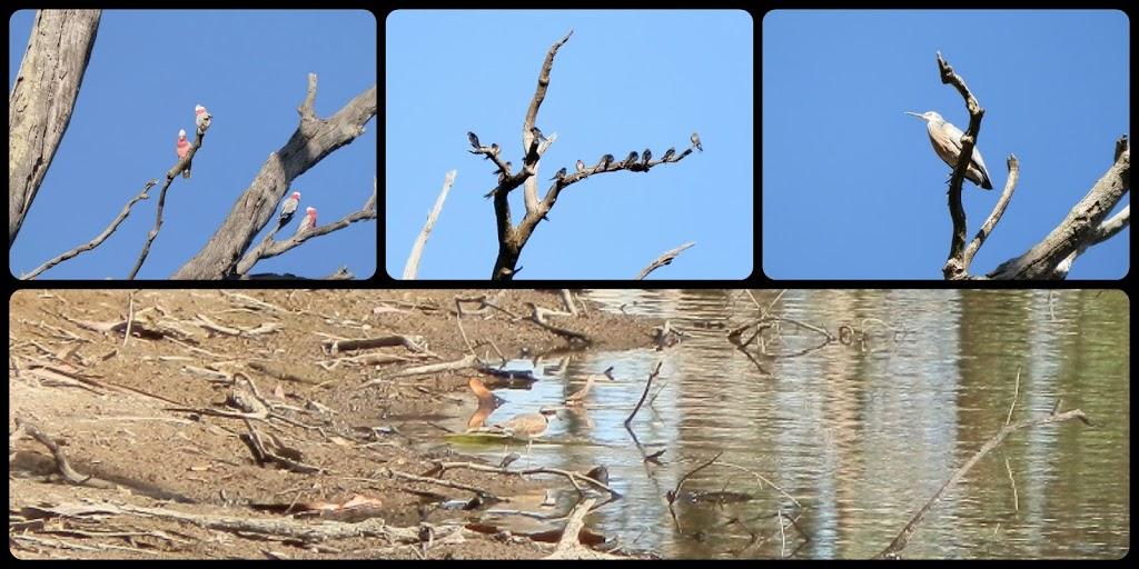 From TOP Left:  Galah, Welcome Swallow, Nankeen Night Heron, and BOTTOM: Spot the Black-fronted Dotterel!