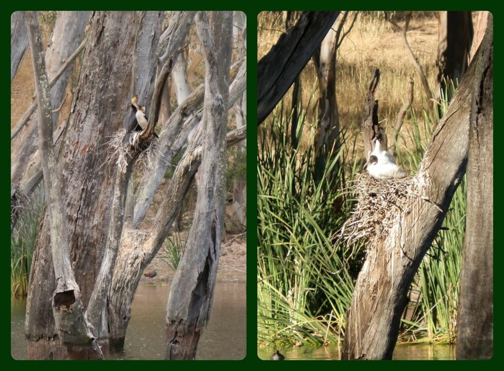 Cormorant (left) and Ibis Nests