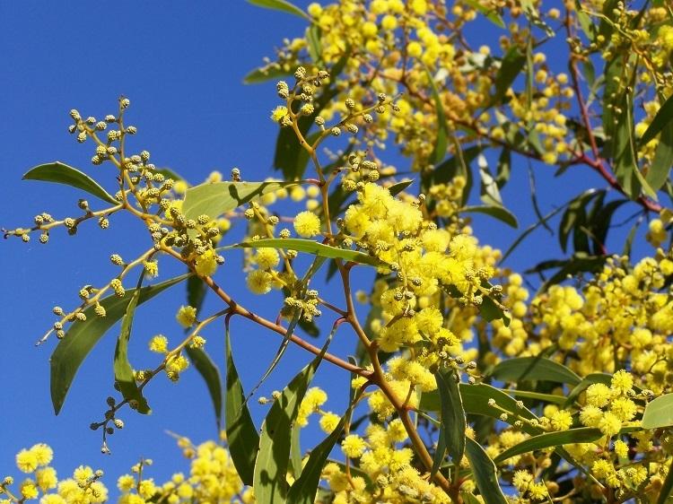 Golden Wattle (Acacia pycnantha), Australia's Floral Emblem - Green and Gold!