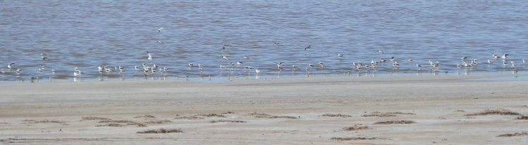 Shorebirds at Lake Tutchewop