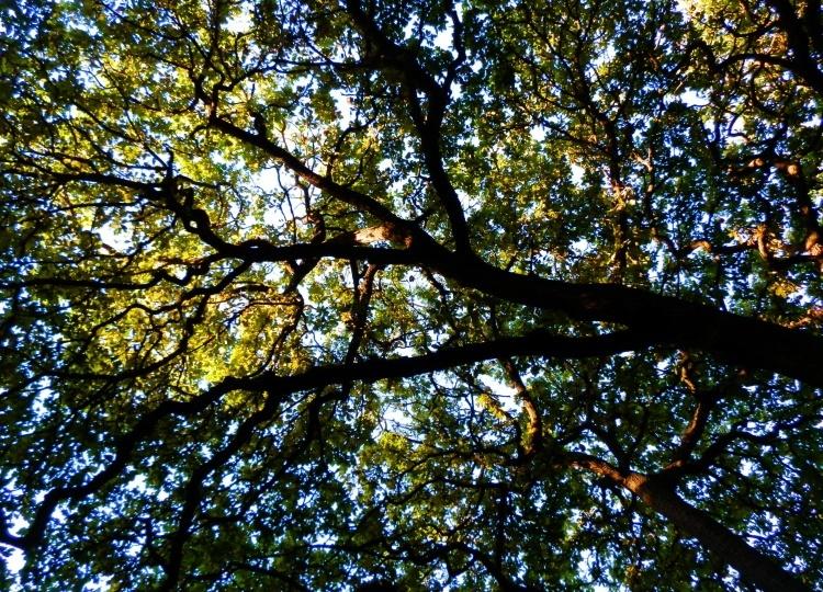 Tree Canopy, Bendigo Botanic Gardens
