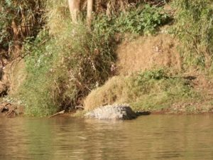 Croc on Victoria River Cruise