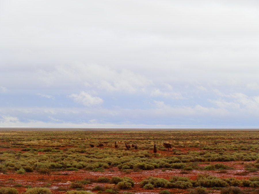 Emus on the road from Woomera to Roxby Downs, South Australia