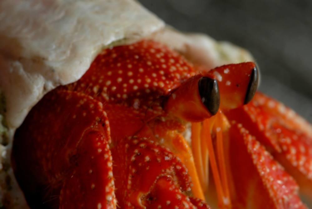 Cocos Island Crab