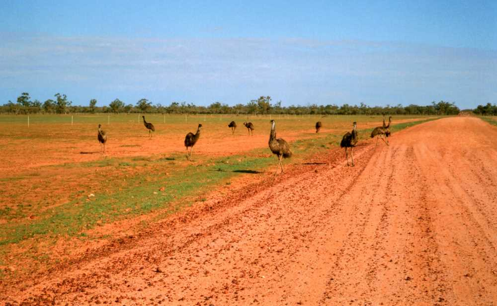 Emus on the Toompine Road, via Quilpie, Outback Queensland