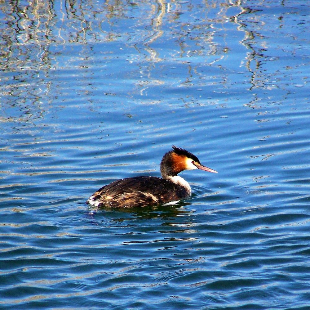 Great Crested Grebe on Lake Bindegolly
